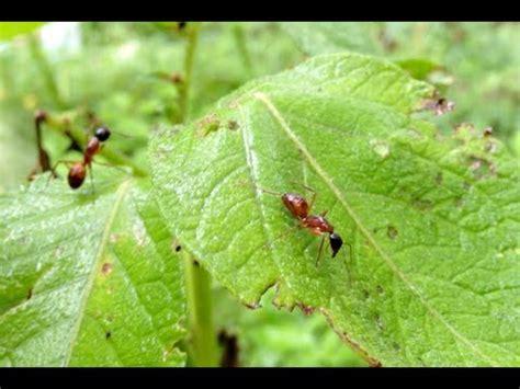 ate ant trap plants eat ants doovi