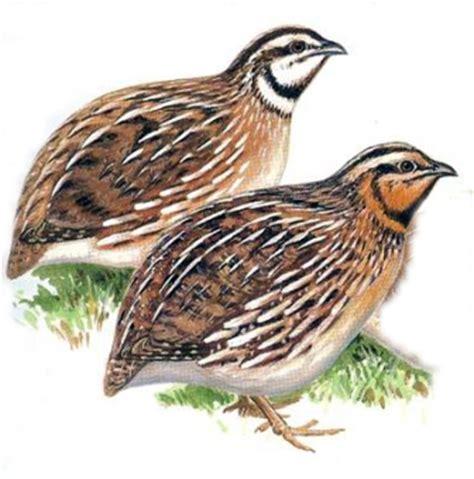 quail coturnix coturnix 187 planet of birds
