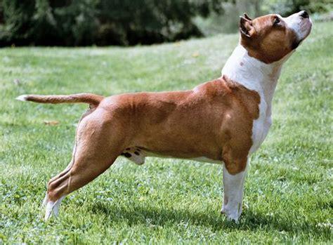 alimentazione amstaff american staffordshire terrier razza carattere