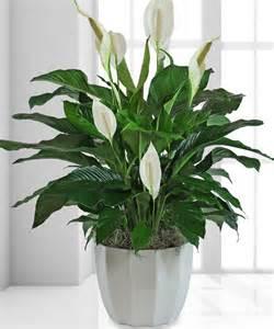 sympathy plants sympathy plant denver sympathy plant denver flower shop