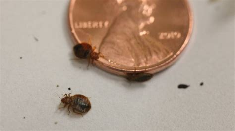 can bed bugs survive in the cold bed bugs rising in rockford and edmonton s buses