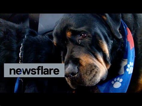 dead rottweiler rottweiler horrible kennel cough flu induced vomiting funnycat tv