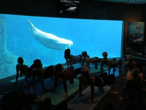 vancouver aquarium 50 new year with beluga whales at the vancouver aquarium inside