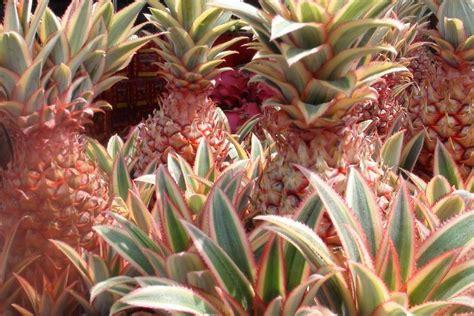 khasiat nanas merah blog kesehatan