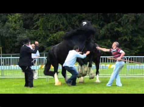 stallion fight: two irish shires youtube