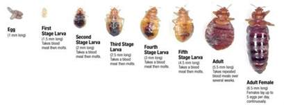 average lifespan of a mattress bed bug cycle bed bug exterminator in ontario