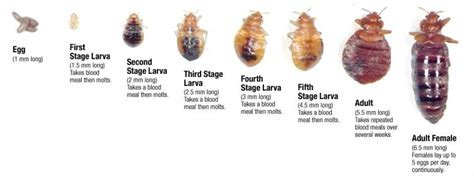 stages of bed bugs bed bug life cycle bed bug exterminator pros in hamilton on