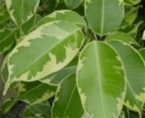 Ficus Benjamin Come Curarlo by Ficus Benjamin Con Insetti Domande E Risposte Piante