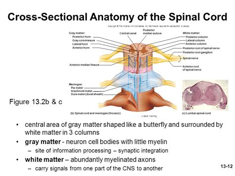 cross sectional view of the spinal cord chapter 13 lecture outline ppt download