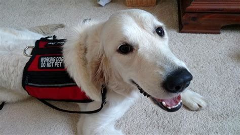 golden retriever service canine coalition dogs placed