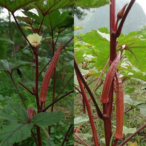 Tanaman Sayuran Dan Bumbu Oregano asal buah sayur ladysfinger kebunpedia