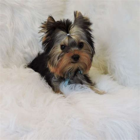 buy tiny teacup yorkie teacup yorkie pup for sale hector