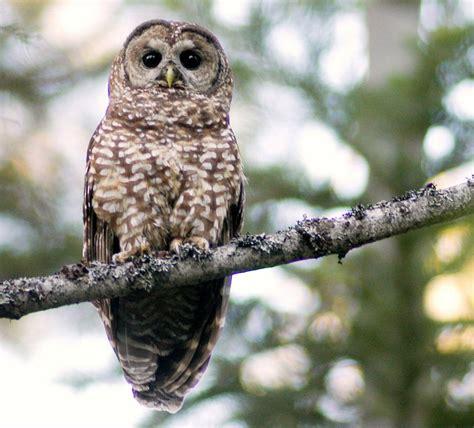 beautiful california spotted owl art pinterest