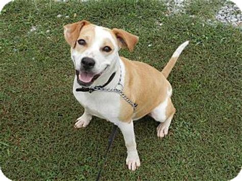 golden retriever american bulldog mix lawrenceburg tn american bulldog labrador retriever mix meet ryleigh a for