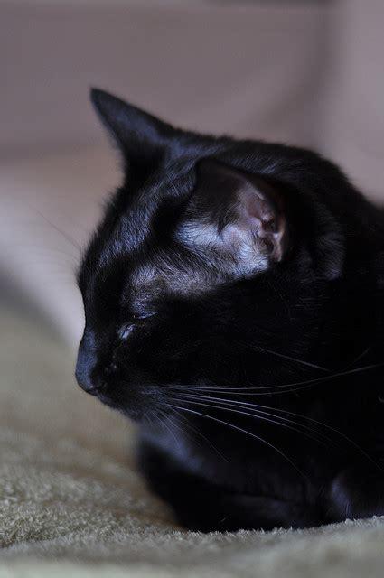 gatto nero testo il mio gatto sicuro il se ami il tuo gatto