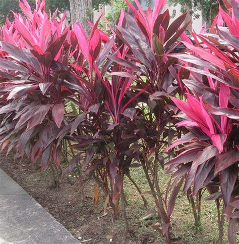 Jual Alat Hidroponik Bali jual tanaman andong merah bibitbunga