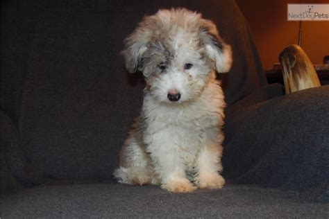 puppies toledo ohio aussiedoodle puppies for sale ohio breeds picture