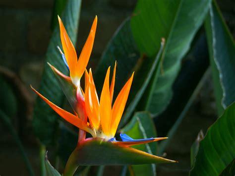 bird paradise flower strelitzia reginae bird of paradise flower world of