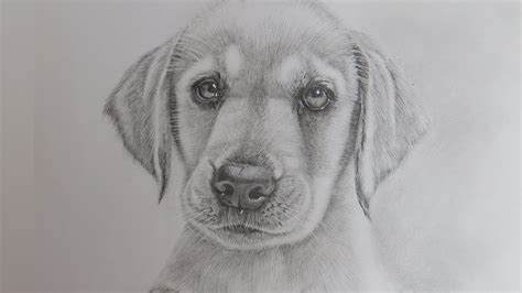how to draw dogs and puppies how to draw a realistic puppy labrador retriever