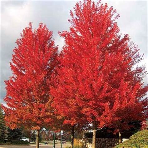 maple tree zone 6 8 fastest growing shade trees
