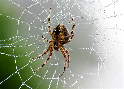 Garden Spider by Spiders