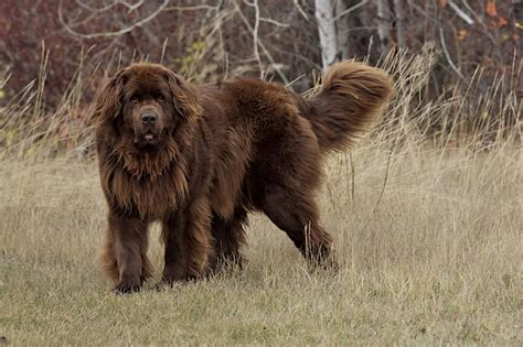 newfoundland breed brown newfoundland