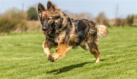 german shepherd chow mix the german chow shepherd mix challenging and cuddly herepup
