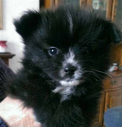 pomeranian puppies for sale in kent papillon x pomeranian puppies for sale ramsgate kent pets4homes