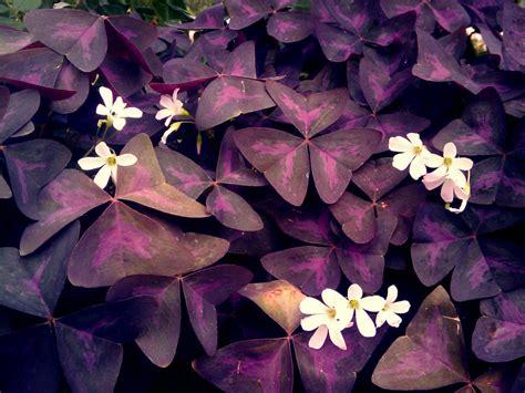 Purple Cover purple clover by blackbetty25 on deviantart