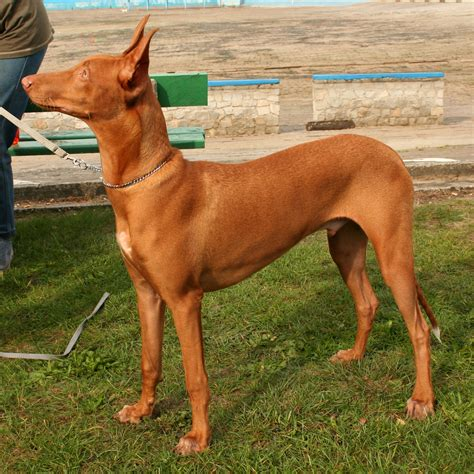 pharaoh hound puppies pharaoh hound photos and wallpapers the beautiful pharaoh hound pictures