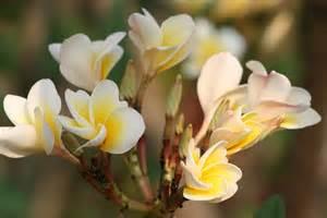Flower Plants India - south indian flowers lakesideindia