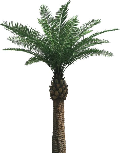 Tropical Island Plants - date palm png transparent png images pluspng