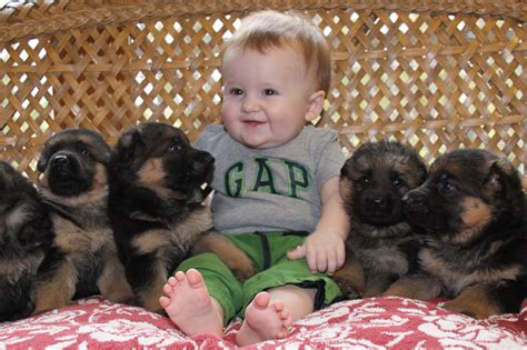 newborn german shepherd puppies german shepherd puppies pictures pets world
