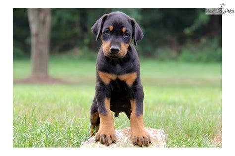 doberman pinscher puppies doberman pinscher puppies 77 background dogbreedswallpapers