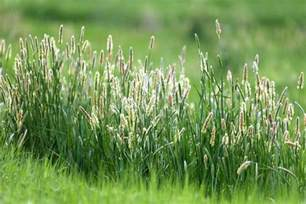 how to grow timothy hay growing timothy hay