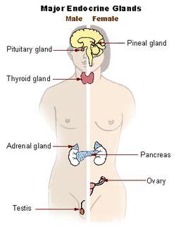 endocrine system wikipedia