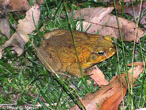how to get rid of cane toads in backyard how to get rid of cane toads in backyard 28 images 100