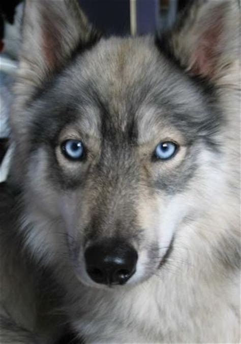 wolf husky puppies with blue eyes husky wolf hybrid handsome pup cutie patooties pinterest