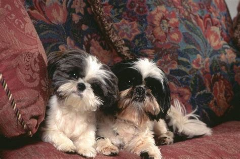 best indoor dogs best indoor dogs a guide to small breeds