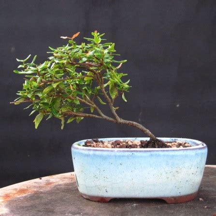 bonsai beginnings jasmine  fine vine