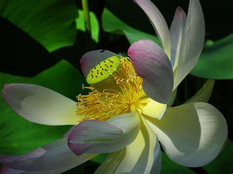 lotus flower seed pod lotus flower with seed pod living botanic