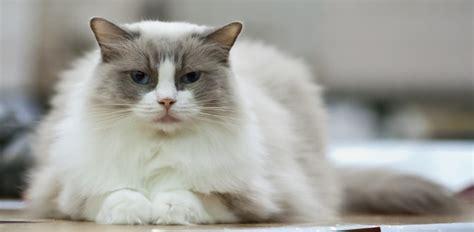 rag doll verb ragdoll cat breed metaphorical platypus