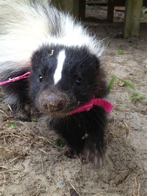 114 best images about skunks on pinterest