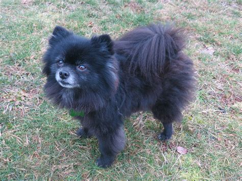 pictures of pomeranians pomeranians breeds picture