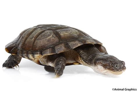 african sideneck turtle 4 6 med pelusios subniger