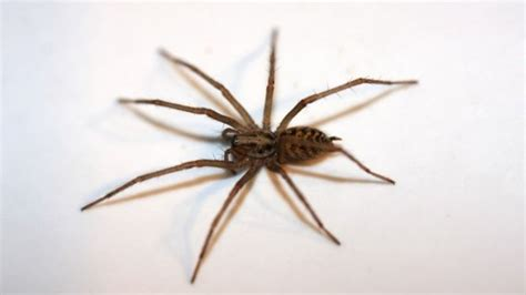 are house spiders dangerous giant house spiders moving indoors after wet uk summer bbc news