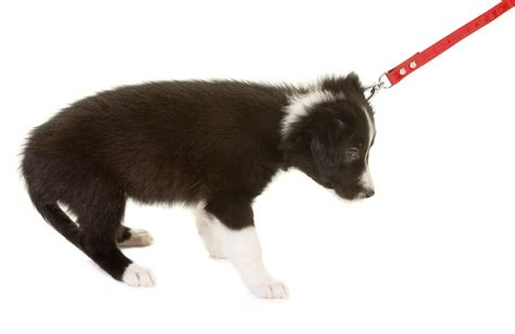 walking puppy stop your from pulling on the leash