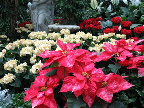 top 28 what makes a poinsettia turn 22 best images about poinsettias on pinterest before