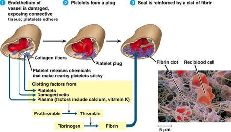 blood clotting mechanism diagram bio geo blood clotting