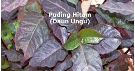 manfaat daun puding hitam daun ungu  mengobati